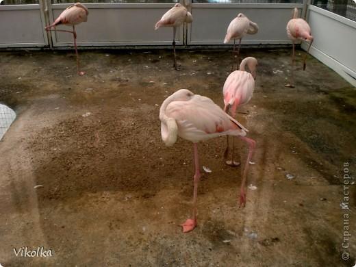 Приглашаю вас посетить один из наших Ростовских парков - это парк Революции. В парке,  в вольерах, живут птицы- это  черные, белые и  черноголовые лебеди , теплолюбивые  фламинго, белые и цветные  павлины ,  венценосные журавли.Приглашаю пройтись  со мной по парку и посмотреть этих красавцев! Жаль, что не могу показать белых павлинов, съемки происходили до того, как их привезли, но обещаю, как только - так сразу!!!    фото 5