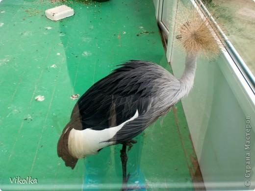 Приглашаю вас посетить один из наших Ростовских парков - это парк Революции. В парке,  в вольерах, живут птицы- это  черные, белые и  черноголовые лебеди , теплолюбивые  фламинго, белые и цветные  павлины ,  венценосные журавли.Приглашаю пройтись  со мной по парку и посмотреть этих красавцев! Жаль, что не могу показать белых павлинов, съемки происходили до того, как их привезли, но обещаю, как только - так сразу!!!    фото 8