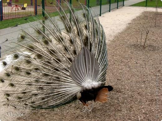 Приглашаю вас посетить один из наших Ростовских парков - это парк Революции. В парке,  в вольерах, живут птицы- это  черные, белые и  черноголовые лебеди , теплолюбивые  фламинго, белые и цветные  павлины ,  венценосные журавли.Приглашаю пройтись  со мной по парку и посмотреть этих красавцев! Жаль, что не могу показать белых павлинов, съемки происходили до того, как их привезли, но обещаю, как только - так сразу!!!    фото 14