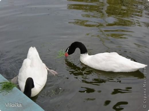 Приглашаю вас посетить один из наших Ростовских парков - это парк Революции. В парке,  в вольерах, живут птицы- это  черные, белые и  черноголовые лебеди , теплолюбивые  фламинго, белые и цветные  павлины ,  венценосные журавли.Приглашаю пройтись  со мной по парку и посмотреть этих красавцев! Жаль, что не могу показать белых павлинов, съемки происходили до того, как их привезли, но обещаю, как только - так сразу!!!    фото 16