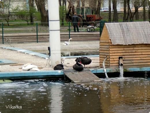 Приглашаю вас посетить один из наших Ростовских парков - это парк Революции. В парке,  в вольерах, живут птицы- это  черные, белые и  черноголовые лебеди , теплолюбивые  фламинго, белые и цветные  павлины ,  венценосные журавли.Приглашаю пройтись  со мной по парку и посмотреть этих красавцев! Жаль, что не могу показать белых павлинов, съемки происходили до того, как их привезли, но обещаю, как только - так сразу!!!    фото 1