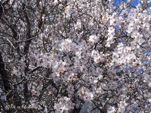 В Грузию пришла весна!!!! Просто прогулялись около дома. Нуши цветет (миндаль) фото 1