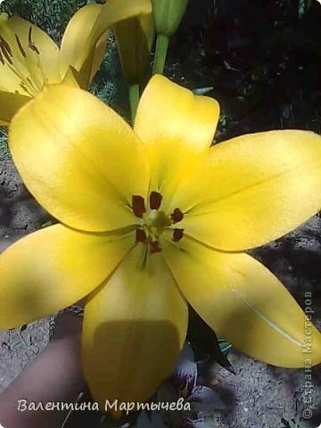 У меня сегодня расцвел крокус, он пока первый - желтенький, потом появится синий, оранжевый и бледно желтый. А пока разрешите вас познакомить с моими лилиями фото 11