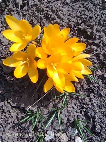 У меня сегодня расцвел крокус, он пока первый - желтенький, потом появится синий, оранжевый и бледно желтый. А пока разрешите вас познакомить с моими лилиями фото 1