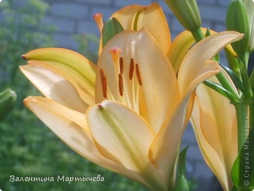 У меня сегодня расцвел крокус, он пока первый - желтенький, потом появится синий, оранжевый и бледно желтый. А пока разрешите вас познакомить с моими лилиями фото 4