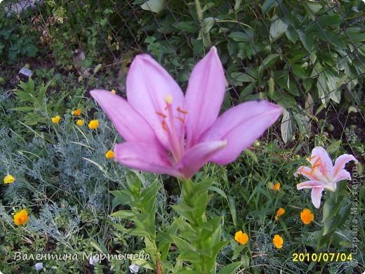 У меня сегодня расцвел крокус, он пока первый - желтенький, потом появится синий, оранжевый и бледно желтый. А пока разрешите вас познакомить с моими лилиями фото 8