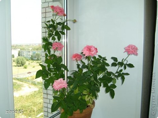 Такие розы, только маленькие, продаются в цветочных магазинах  в маленьких горшочках. Эта не захотела оставаться маленькой. Уже третий год она вырастает все больше и больше, и радует нас своим цветением. фото 10