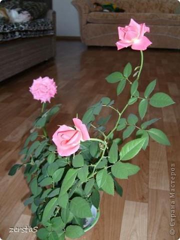 Такие розы, только маленькие, продаются в цветочных магазинах  в маленьких горшочках. Эта не захотела оставаться маленькой. Уже третий год она вырастает все больше и больше, и радует нас своим цветением. фото 2