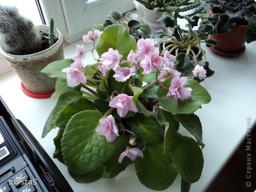 Такие розы, только маленькие, продаются в цветочных магазинах  в маленьких горшочках. Эта не захотела оставаться маленькой. Уже третий год она вырастает все больше и больше, и радует нас своим цветением. фото 13