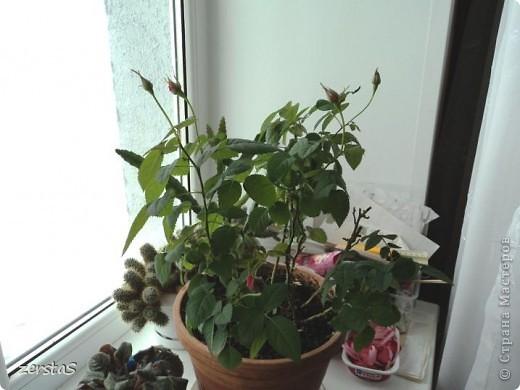 Такие розы, только маленькие, продаются в цветочных магазинах  в маленьких горшочках. Эта не захотела оставаться маленькой. Уже третий год она вырастает все больше и больше, и радует нас своим цветением. фото 1