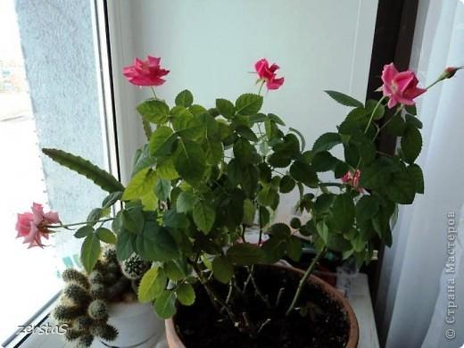 Такие розы, только маленькие, продаются в цветочных магазинах  в маленьких горшочках. Эта не захотела оставаться маленькой. Уже третий год она вырастает все больше и больше, и радует нас своим цветением. фото 3