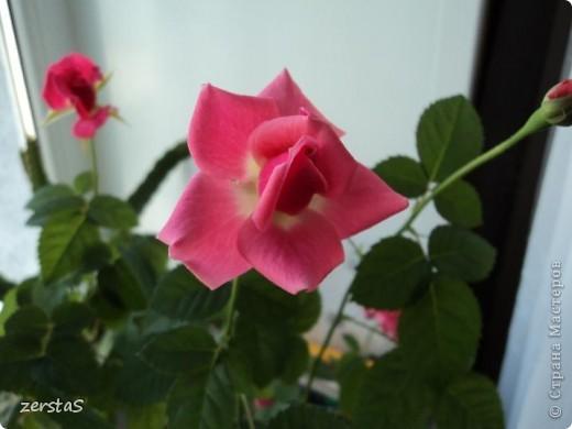 Такие розы, только маленькие, продаются в цветочных магазинах  в маленьких горшочках. Эта не захотела оставаться маленькой. Уже третий год она вырастает все больше и больше, и радует нас своим цветением. фото 4