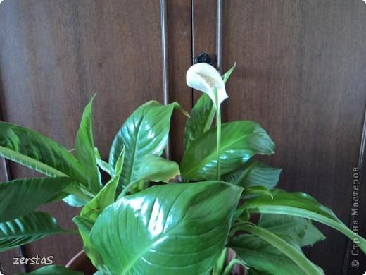 Такие розы, только маленькие, продаются в цветочных магазинах  в маленьких горшочках. Эта не захотела оставаться маленькой. Уже третий год она вырастает все больше и больше, и радует нас своим цветением. фото 11