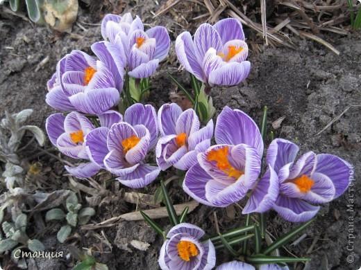 Весна в этом году поздняя. Каждый день хожу смотреть на клумбу. В прошлом году в это же время у меня уже вовсю цвели первоцветы. Крокусы растут третий год. Это прошлогоднее фото. фото 1