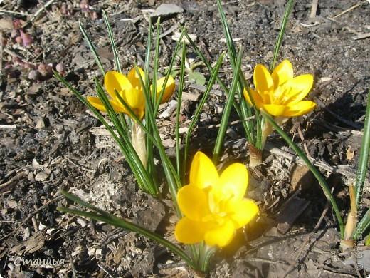 Весна в этом году поздняя. Каждый день хожу смотреть на клумбу. В прошлом году в это же время у меня уже вовсю цвели первоцветы. Крокусы растут третий год. Это прошлогоднее фото. фото 4