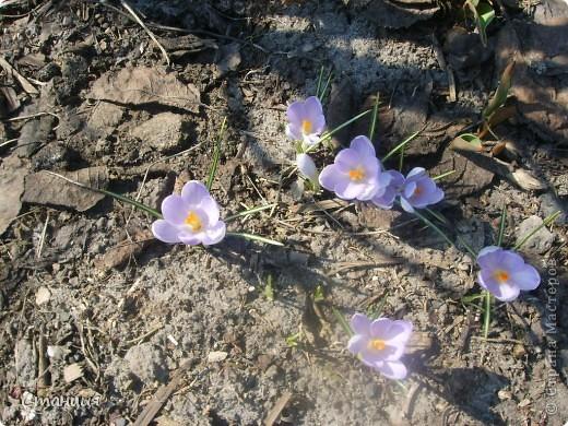 Весна в этом году поздняя. Каждый день хожу смотреть на клумбу. В прошлом году в это же время у меня уже вовсю цвели первоцветы. Крокусы растут третий год. Это прошлогоднее фото. фото 9