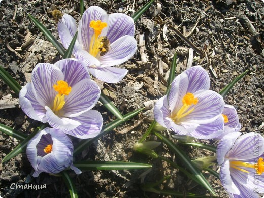 Весна в этом году поздняя. Каждый день хожу смотреть на клумбу. В прошлом году в это же время у меня уже вовсю цвели первоцветы. Крокусы растут третий год. Это прошлогоднее фото. фото 2