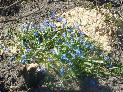 Весна в этом году поздняя. Каждый день хожу смотреть на клумбу. В прошлом году в это же время у меня уже вовсю цвели первоцветы. Крокусы растут третий год. Это прошлогоднее фото. фото 11