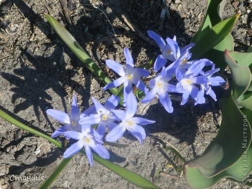 Весна в этом году поздняя. Каждый день хожу смотреть на клумбу. В прошлом году в это же время у меня уже вовсю цвели первоцветы. Крокусы растут третий год. Это прошлогоднее фото. фото 10