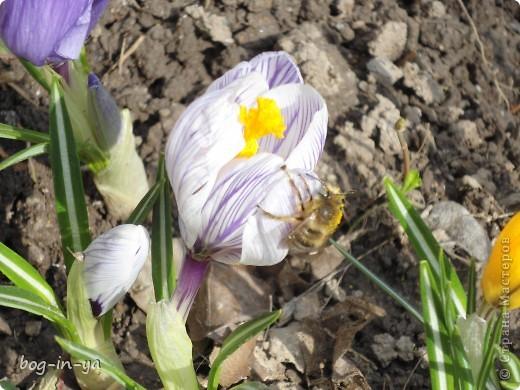 После затяжной холодной зимы наконец-то сошел снег. Сегодня утром, выглянув в окно, я обалдела от увиденной там красоты. Я уж и забыла, что сажала их там.... Вот и первая пчелка-труженница! фото 1