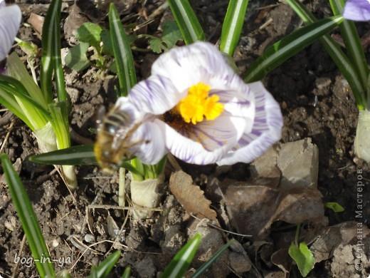 После затяжной холодной зимы наконец-то сошел снег. Сегодня утром, выглянув в окно, я обалдела от увиденной там красоты. Я уж и забыла, что сажала их там.... Вот и первая пчелка-труженница! фото 2