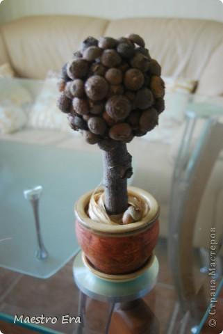 Желудевое дерево.
