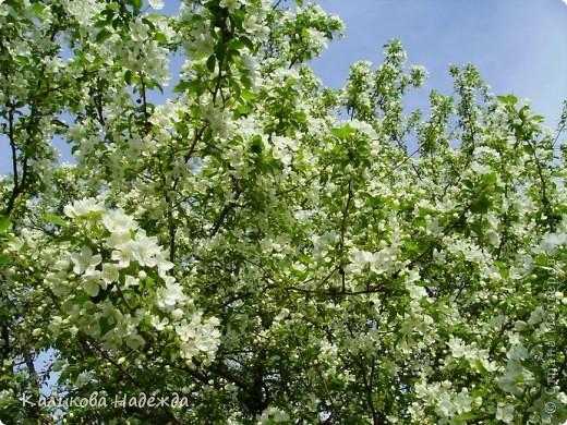 Нина Пикулева Яблонька  Яблонька по весне просыпается так, что восторг вырывается сам: вот она, молодость! Вот она, жизнь! Вся в соцветиях радости, будто бы в платье – невеста!  фото 1