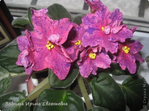 Это моя любимая фиалка. Мне подарила её моя ученица Катя. Цветёт обильно, цветы очень крупные, перламутровые. фото 3