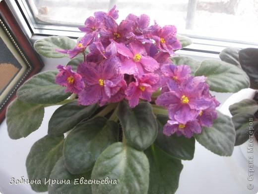 Это моя любимая фиалка. Мне подарила её моя ученица Катя. Цветёт обильно, цветы очень крупные, перламутровые. фото 1