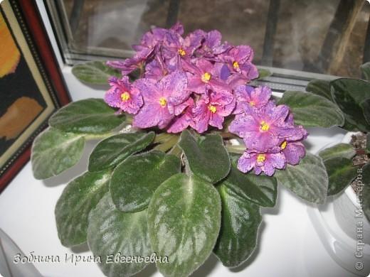 Это моя любимая фиалка. Мне подарила её моя ученица Катя. Цветёт обильно, цветы очень крупные, перламутровые. фото 2