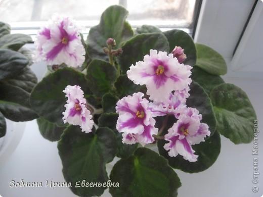 Это моя любимая фиалка. Мне подарила её моя ученица Катя. Цветёт обильно, цветы очень крупные, перламутровые. фото 4