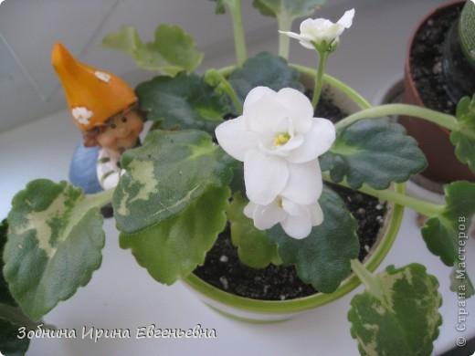 Это моя любимая фиалка. Мне подарила её моя ученица Катя. Цветёт обильно, цветы очень крупные, перламутровые. фото 7