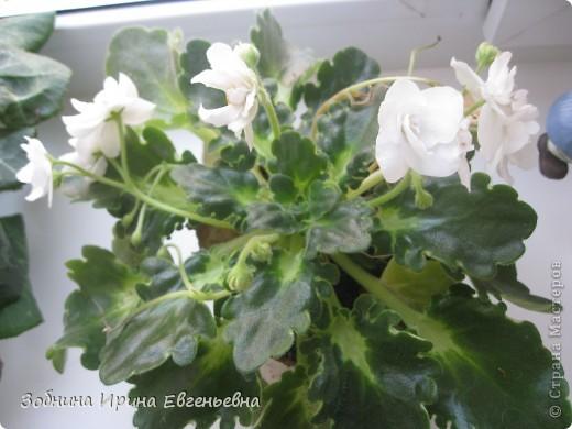 Это моя любимая фиалка. Мне подарила её моя ученица Катя. Цветёт обильно, цветы очень крупные, перламутровые. фото 6