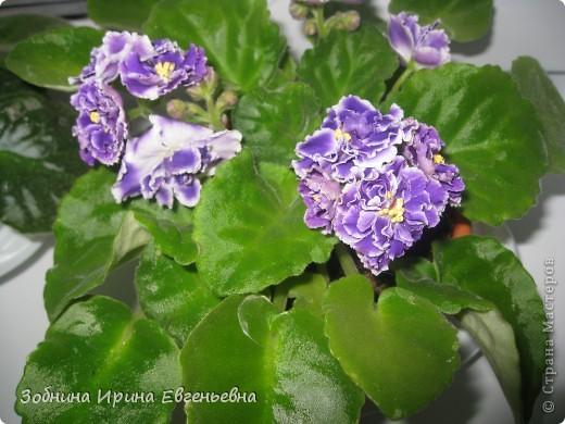 Это моя любимая фиалка. Мне подарила её моя ученица Катя. Цветёт обильно, цветы очень крупные, перламутровые. фото 8