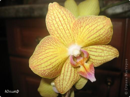 Здравствуйте. Позвольте Вам представить моих любимцев - орхидеи фаленопсис. Я очень люблю цветы и летом фавориты - пионы и розы, а вот зимой меня неустанно радуют мои орхидеи. Цветут они с небольшим перерывом около 9 месяцев в году, и что радует - цветут зимой.  По неприхотливости: в это сложное лето у меня вымерла вся моя небольшая коллекция фиалок... Из орхидей не пострадал никто.  Итак, представляю: №1. Мини- фаленопсис. Крошка высотой всего сантиметров 12, но пушистый и просто бархатный. К сожалению, фотографировать этот эффект я пока не научилась... фото 12