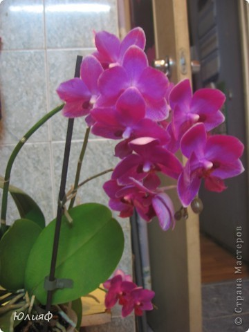 Здравствуйте. Позвольте Вам представить моих любимцев - орхидеи фаленопсис. Я очень люблю цветы и летом фавориты - пионы и розы, а вот зимой меня неустанно радуют мои орхидеи. Цветут они с небольшим перерывом около 9 месяцев в году, и что радует - цветут зимой.  По неприхотливости: в это сложное лето у меня вымерла вся моя небольшая коллекция фиалок... Из орхидей не пострадал никто.  Итак, представляю: №1. Мини- фаленопсис. Крошка высотой всего сантиметров 12, но пушистый и просто бархатный. К сожалению, фотографировать этот эффект я пока не научилась... фото 13