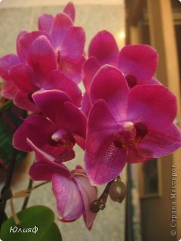 Здравствуйте. Позвольте Вам представить моих любимцев - орхидеи фаленопсис. Я очень люблю цветы и летом фавориты - пионы и розы, а вот зимой меня неустанно радуют мои орхидеи. Цветут они с небольшим перерывом около 9 месяцев в году, и что радует - цветут зимой.  По неприхотливости: в это сложное лето у меня вымерла вся моя небольшая коллекция фиалок... Из орхидей не пострадал никто.  Итак, представляю: №1. Мини- фаленопсис. Крошка высотой всего сантиметров 12, но пушистый и просто бархатный. К сожалению, фотографировать этот эффект я пока не научилась... фото 14