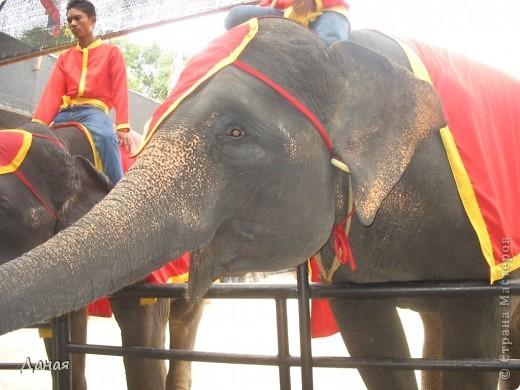 """""""По улицам Слона водили, Как видно напоказ - Известно, что Слоны в диковинку у нас """"... (И. Крылов)  Именно поэтому я и решила показать жителям Страны мастеров фотографии,   сделанные мной на шоу слонов в Тайланде. фото 7"""