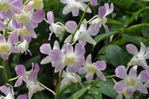 Орхидеи фото 3