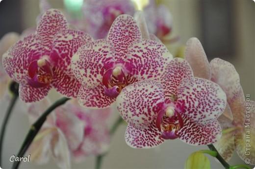 Орхидеи фото 12