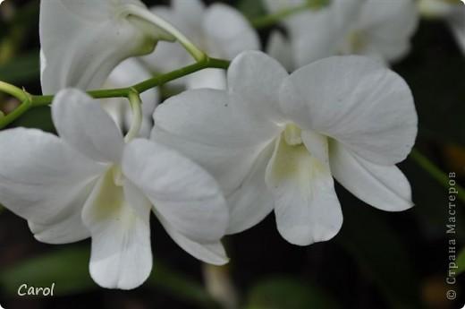 Орхидеи фото 16