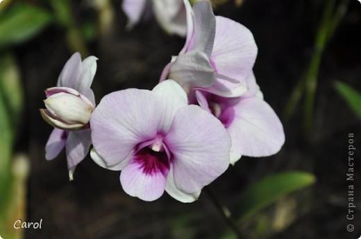 Орхидеи фото 17