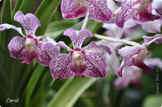 Орхидеи фото 28