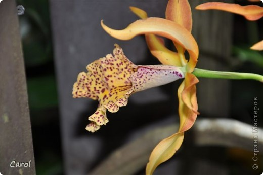 Орхидеи фото 30