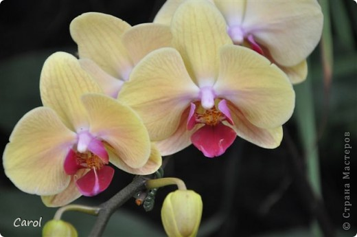 Орхидеи фото 35