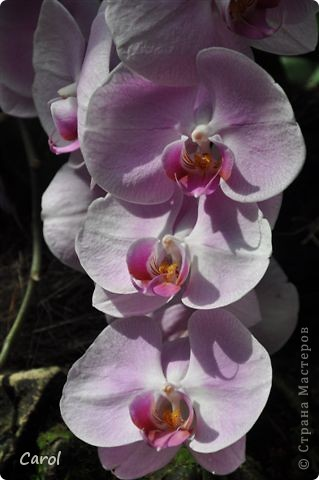 Орхидеи фото 32