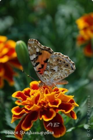 Всем добрый  день, вечер, ночь. Вот решилась, выкладываю свои творения! Это не оригами , не открытки - это фотографии. Это - любовь , это все чем я живу и дышу последние 4 года.  С фотоаппаратом я не расстаюсь, спать с ним ложусь , а вдруг во сне, прилетит красивая бабочка? Уже позади три выставки, а впереди теплое лето которое манит своими красками и ароматами ... надеюсь Вам понравиться! фото 16
