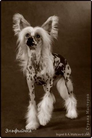 Когда я впервые увидела эту собаку, я была в изумлении от неё. Глаз не могла оторвать. Настолько грациозно она шла, а её белоснежная грива была похожа на фату невесты. Я влюбилась в эту породу. фото 1