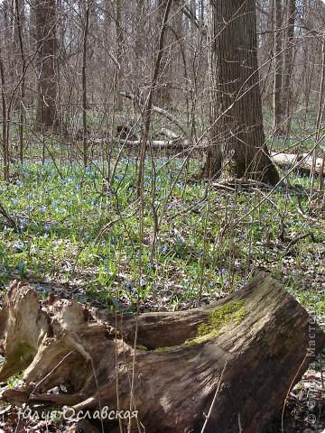 Каждый год весной мы всей семьей выбираемся в лес полюбоваться на эти замечательные цветы. Пролеска - чудесный цветок, который возвещает о приходе весны и тепла! фото 2