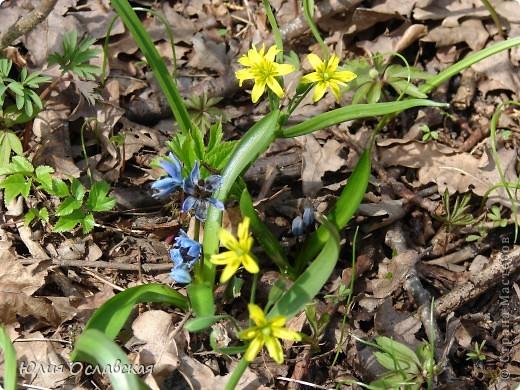 Каждый год весной мы всей семьей выбираемся в лес полюбоваться на эти замечательные цветы. Пролеска - чудесный цветок, который возвещает о приходе весны и тепла! фото 4